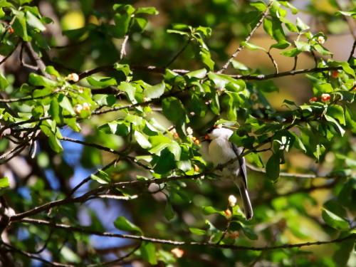 ツルマサキに集まる鳥達②   コガラ    TGS_d0346713_20011337.jpg