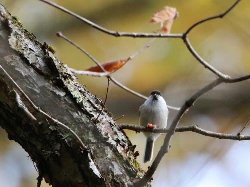 ツルマサキに集まる鳥達②   コガラ    TGS_d0346713_20013446.jpg