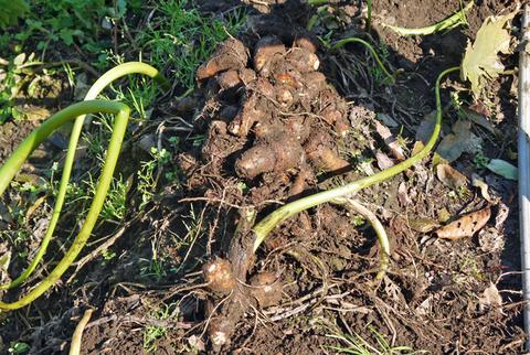 何と里芋1株から45個も&青ネギとキャベツ初収穫10・27_c0014967_6131980.jpg