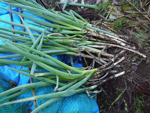 何と里芋1株から45個も&青ネギとキャベツ初収穫10・27_c0014967_614471.jpg