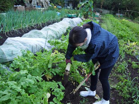 何と里芋1株から45個も&青ネギとキャベツ初収穫10・27_c0014967_6154322.jpg
