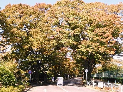 植物園のケヤキ並木   2017年10月27日_a0164068_13215428.jpg