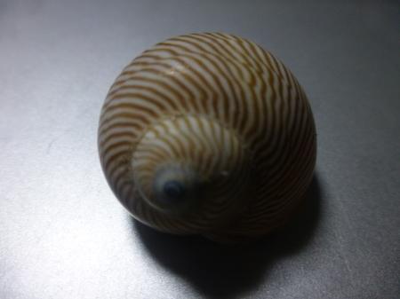 貝シリーズ テニアン島からのおくりもの_b0011584_16314455.jpg