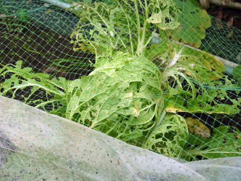 虫食いハクサイ初収穫&ニンニクに追肥10・28_c0014967_10285434.jpg