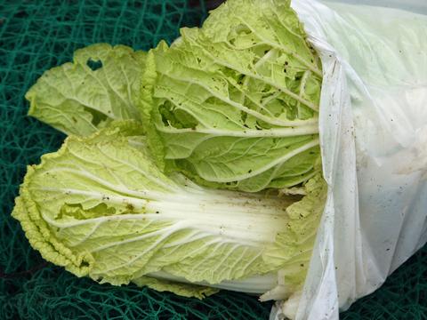 虫食いハクサイ初収穫&ニンニクに追肥10・28_c0014967_10291111.jpg