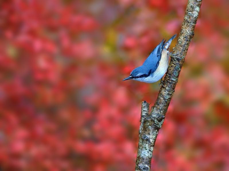 秋色のゴジュウカラたち_a0204089_21452696.jpg
