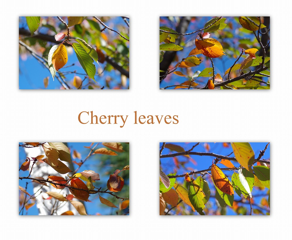 色づく桜の葉_d0147812_17291385.jpg