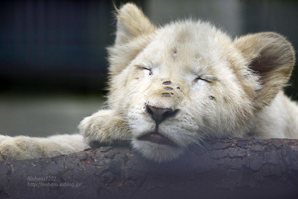 2016.10.1 宇都宮動物園☆ホワイトライオンのステルクとアルマル【White lions】_f0250322_22242012.jpg