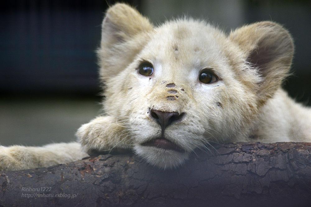 2016.10.1 宇都宮動物園☆ホワイトライオンのステルクとアルマル【White lions】_f0250322_22242874.jpg