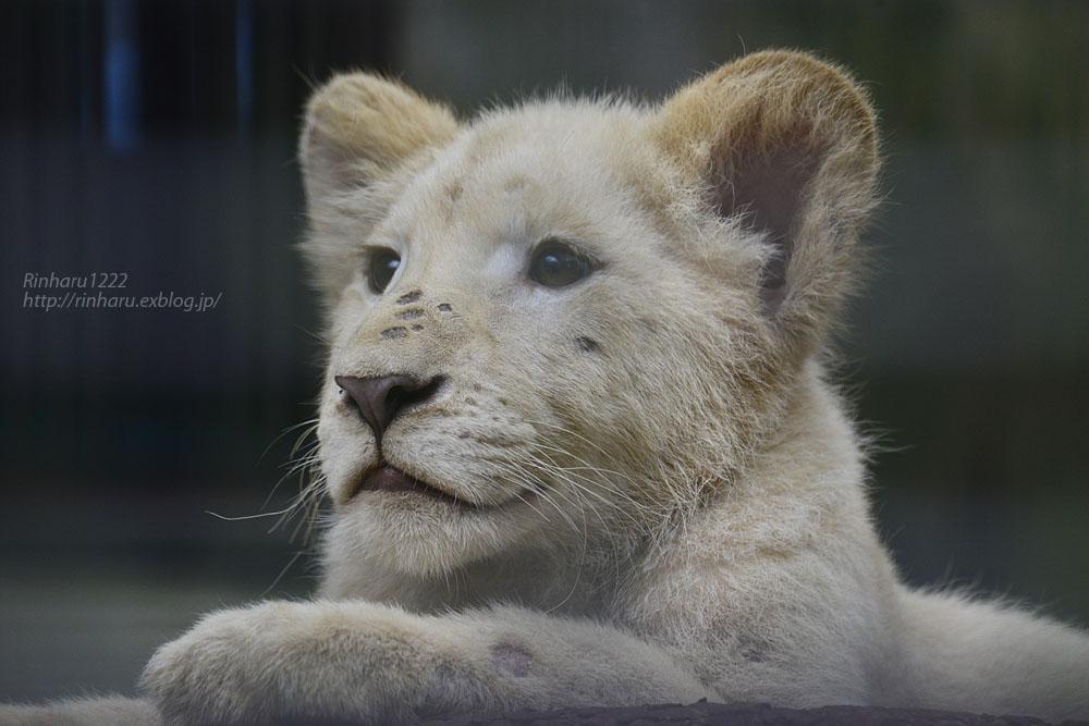 2016.10.1 宇都宮動物園☆ホワイトライオンのステルクとアルマル【White lions】_f0250322_22243389.jpg