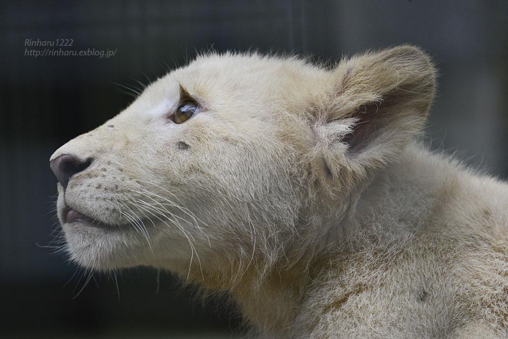 2016.10.1 宇都宮動物園☆ホワイトライオンのステルクとアルマル【White lions】_f0250322_22243895.jpg