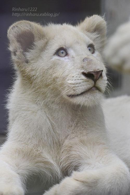2016.10.1 宇都宮動物園☆ホワイトライオンのステルクとアルマル【White lions】_f0250322_22244396.jpg