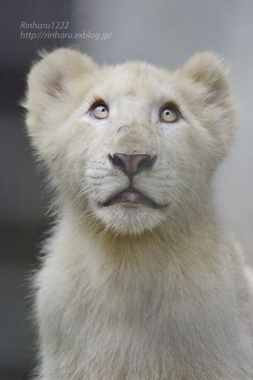 2016.10.1 宇都宮動物園☆ホワイトライオンのステルクとアルマル【White lions】_f0250322_22245572.jpg