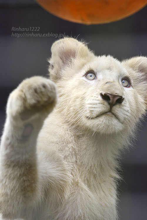 2016.10.1 宇都宮動物園☆ホワイトライオンのステルクとアルマル【White lions】_f0250322_22251259.jpg