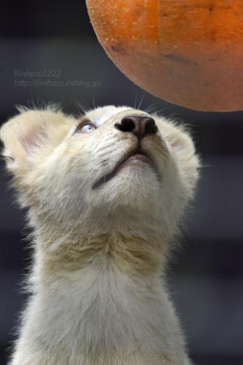 2016.10.1 宇都宮動物園☆ホワイトライオンのステルクとアルマル【White lions】_f0250322_22252484.jpg