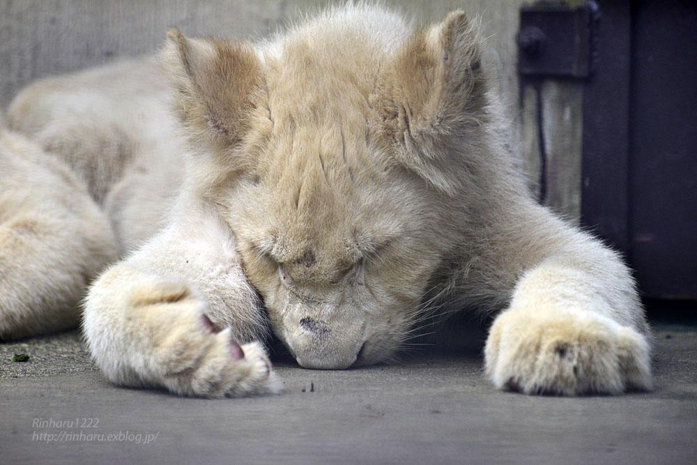 2016.10.1 宇都宮動物園☆ホワイトライオンのステルクとアルマル【White lions】_f0250322_2225299.jpg
