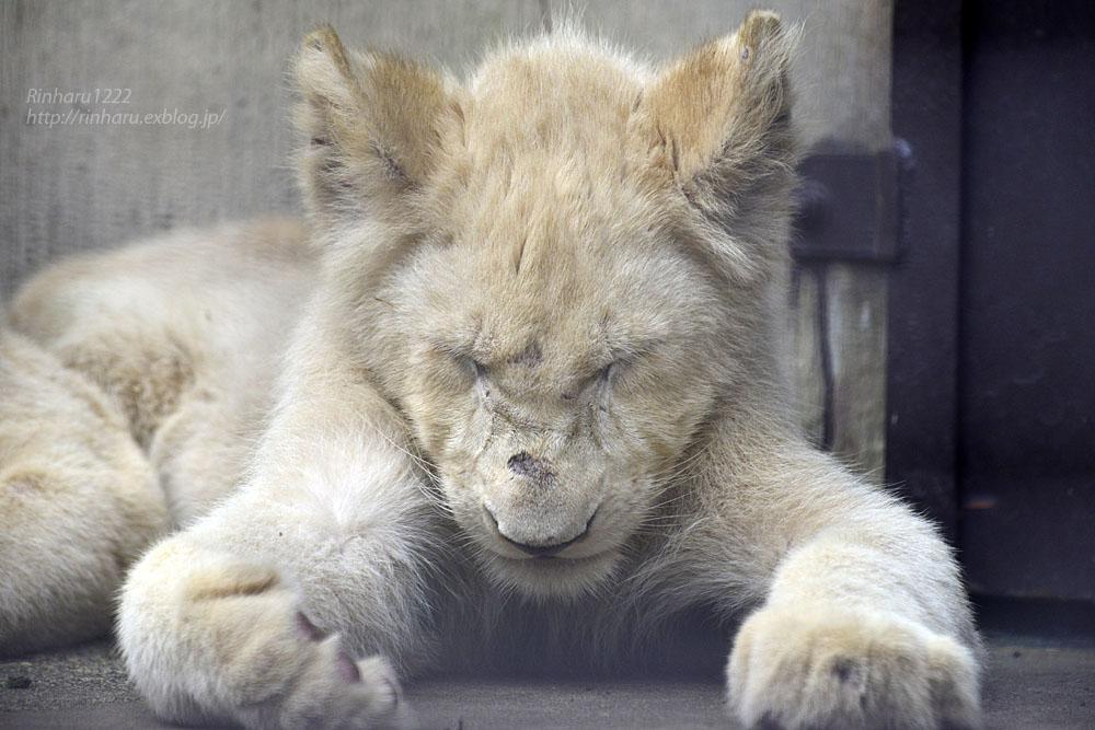 2016.10.1 宇都宮動物園☆ホワイトライオンのステルクとアルマル【White lions】_f0250322_22253440.jpg
