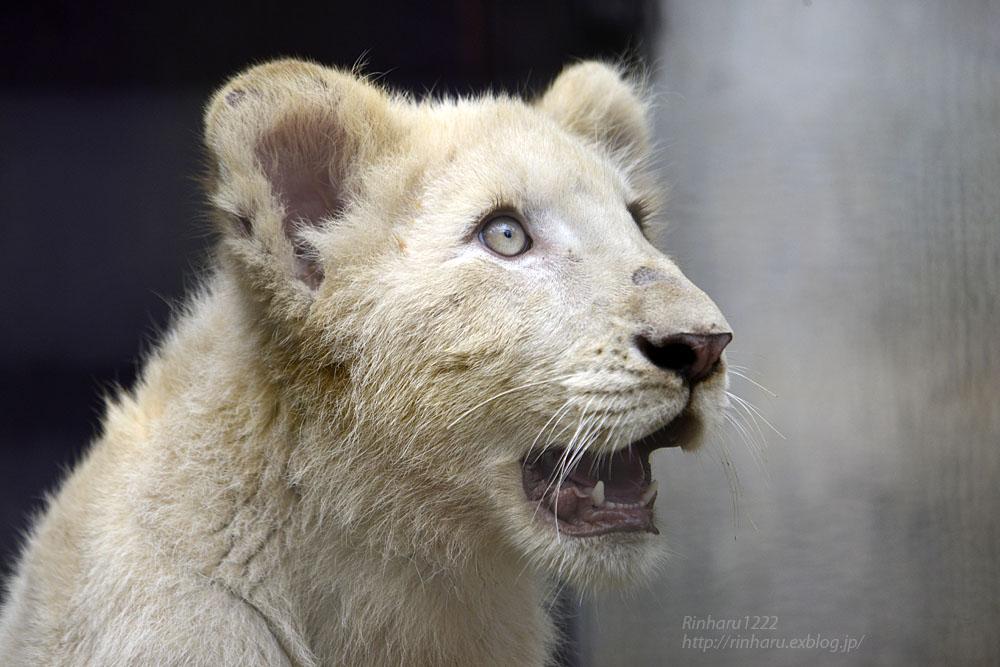 2016.10.1 宇都宮動物園☆ホワイトライオンのステルクとアルマル【White lions】_f0250322_22254088.jpg