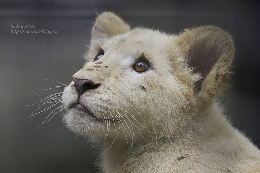 2016.10.1 宇都宮動物園☆ホワイトライオンのステルクとアルマル【White lions】_f0250322_2225683.jpg