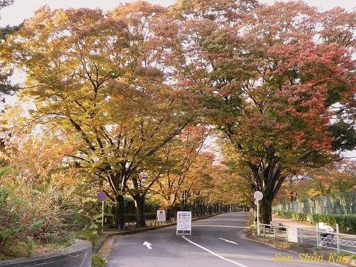 植物園のケヤキ並木   2017年10月30日_a0164068_23005510.jpg