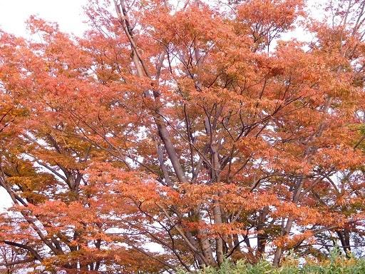 植物園のケヤキ並木   2017年10月30日_a0164068_23005577.jpg