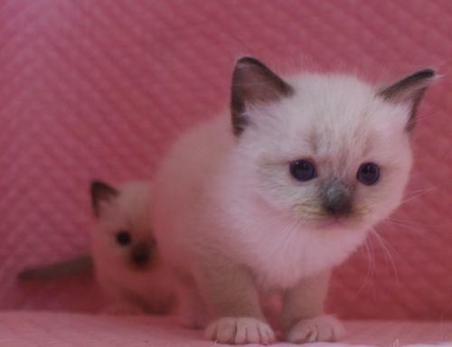 ラグドール子猫 シールポイントミテッド坊や 家族募集_e0033609_01503068.jpg