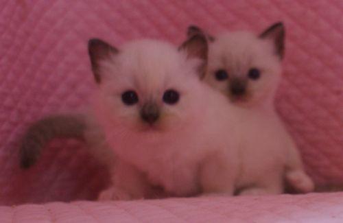ラグドール子猫 シールポイントミテッド坊や 家族募集_e0033609_01503579.jpg