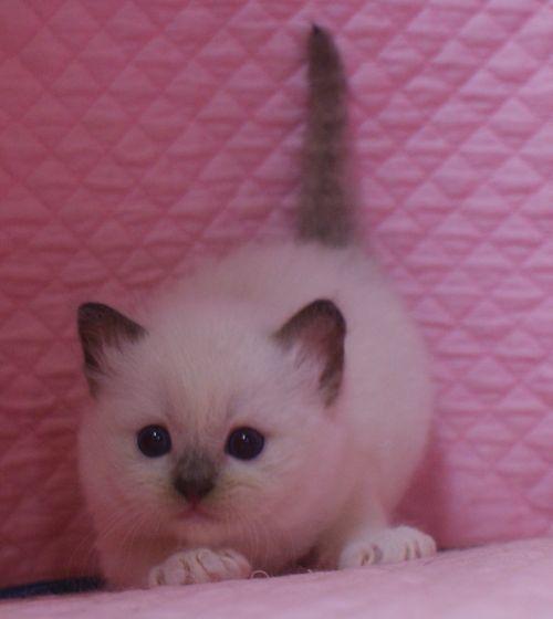 ラグドール子猫 シールポイントミテッド坊や 家族募集_e0033609_01505246.jpg