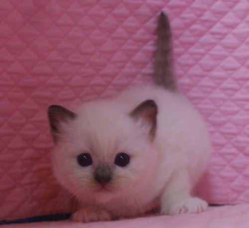 ラグドール子猫 シールポイントミテッド坊や 家族募集_e0033609_01505752.jpg