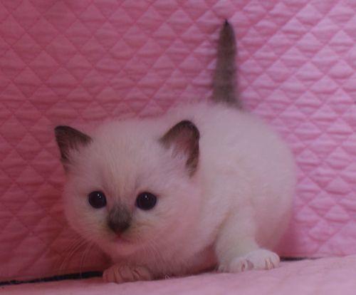 ラグドール子猫 シールポイントミテッド坊や 家族募集_e0033609_01510486.jpg