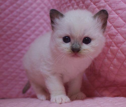 ラグドール子猫 シールポイントミテッド坊や 家族募集_e0033609_01511278.jpg