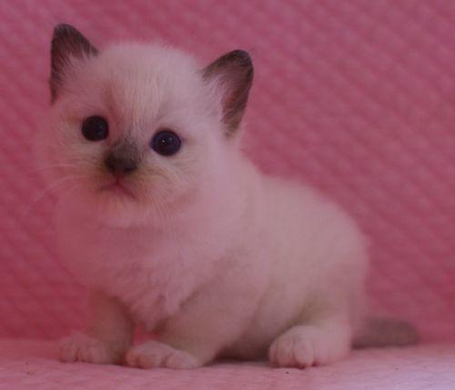ラグドール子猫 シールポイントミテッド坊や 家族募集_e0033609_01512014.jpg