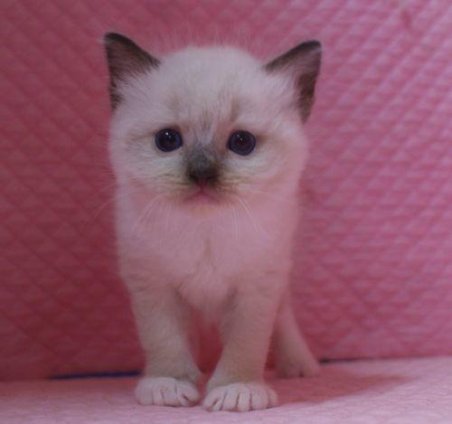 ラグドール子猫 シールポイントミテッド坊や 家族募集_e0033609_01522193.jpg