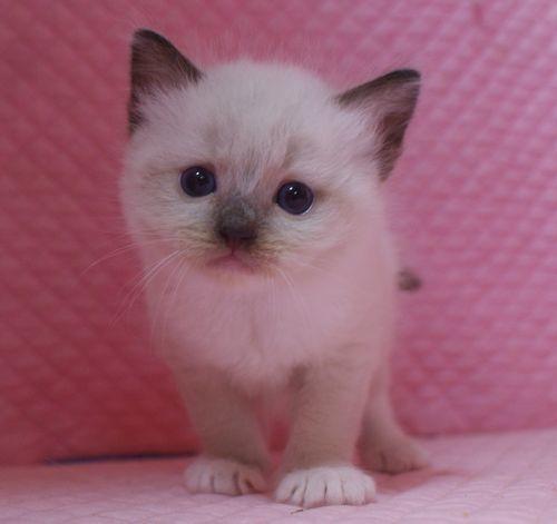 ラグドール子猫 シールポイントミテッド坊や 家族募集_e0033609_01522806.jpg