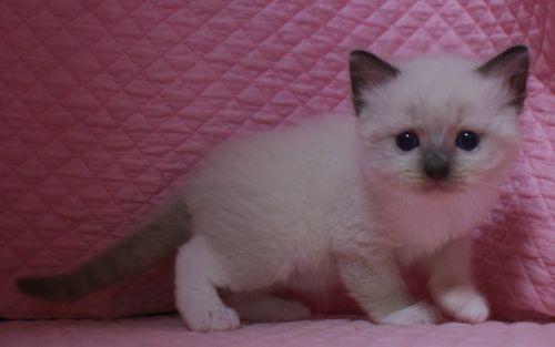ラグドール子猫 シールポイントミテッド坊や 家族募集_e0033609_01523668.jpg
