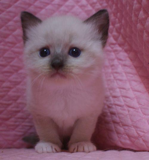 ラグドール子猫 シールポイントミテッド坊や 家族募集_e0033609_01524350.jpg