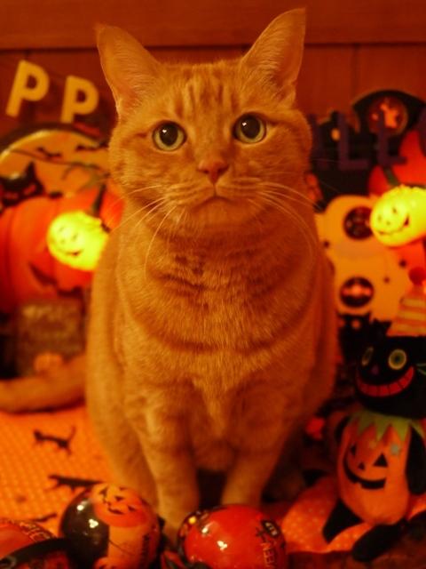 ハロウィン猫 しぇる編。_a0143140_22174224.jpg