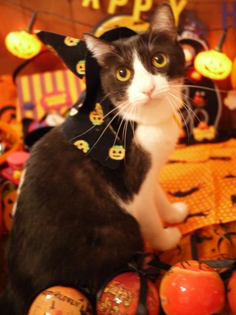 ハロウィン猫 みるきぃ編。_a0143140_22311245.jpg