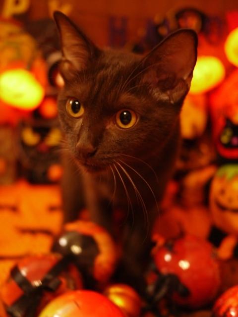 ハロウィン猫 あんしゃぁりぃ編。_a0143140_22333710.jpg