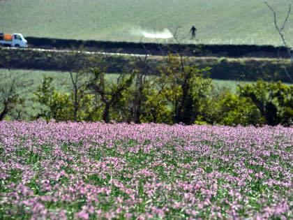 鳥取砂丘近くのラッキョウ畑では可愛い花が咲く季節........一面が......_b0194185_22171587.jpg