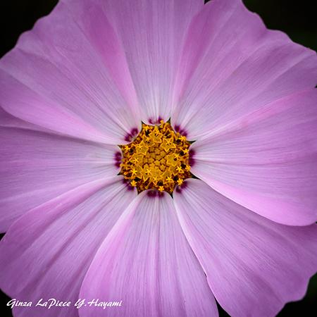 花のある風景 コスモスのシベ_b0133053_00320784.jpg