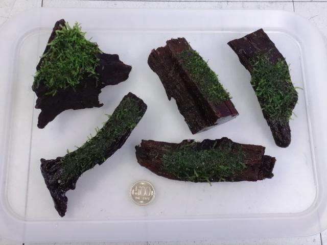 171102 熱帯魚・金魚・めだか・水草・観葉植物_f0189122_13135892.jpg