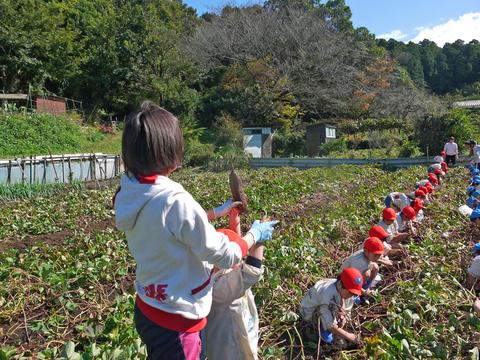 六国見山に大歓声、幼稚園児たちが段々畑で芋掘り10・30_c0014967_8152144.jpg