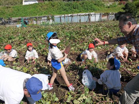 六国見山に大歓声、幼稚園児たちが段々畑で芋掘り10・30_c0014967_8154815.jpg