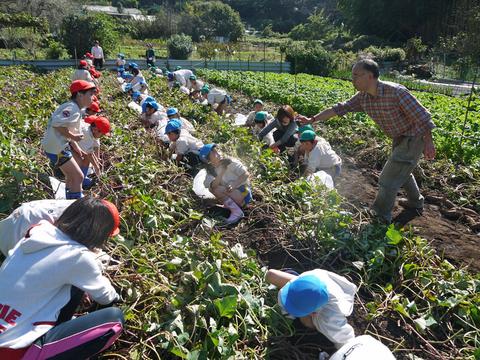 六国見山に大歓声、幼稚園児たちが段々畑で芋掘り10・30_c0014967_8163630.jpg