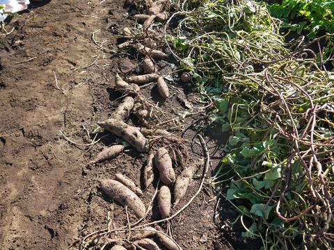 六国見山に大歓声、幼稚園児たちが段々畑で芋掘り10・30_c0014967_8164654.jpg