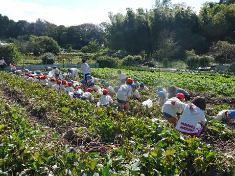 六国見山に大歓声、幼稚園児たちが段々畑で芋掘り10・30_c0014967_817519.jpg