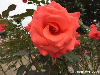 バラ園_e0145332_23191339.jpg