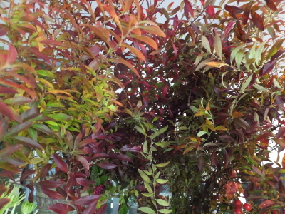 オークリーフ(秋はいいですね)_f0049672_17300278.jpg