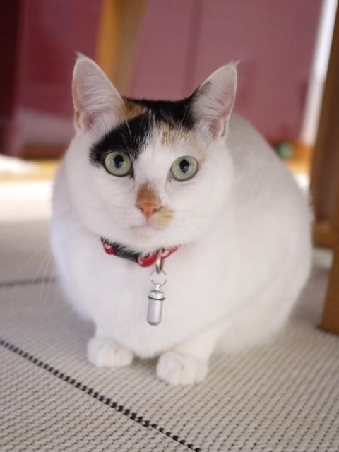 猫のお留守番 サクラちゃん編。_a0143140_22394463.jpg